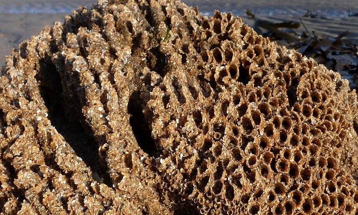 Honeycomb Worm